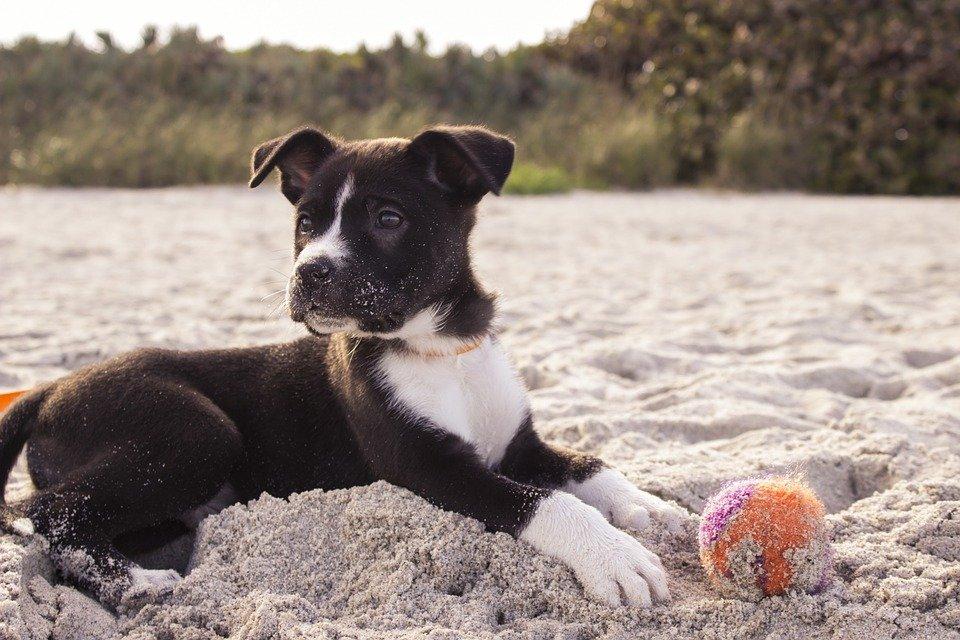 Hund, Strand, Spielen