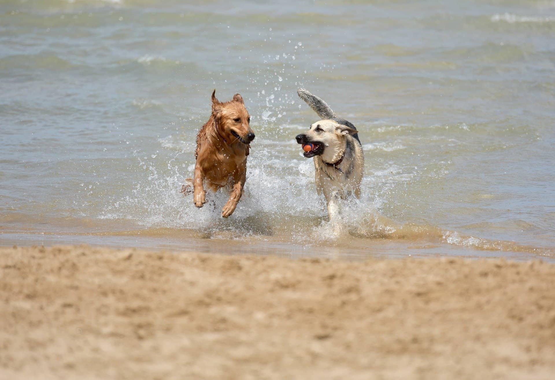 Spielende Hunde am Sandstrand
