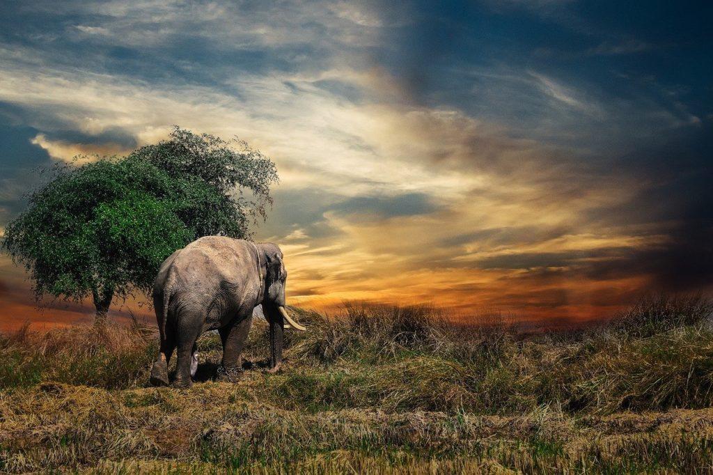 Elefant, Natur, Safari, Flitterwochen, Hochzeitsreise