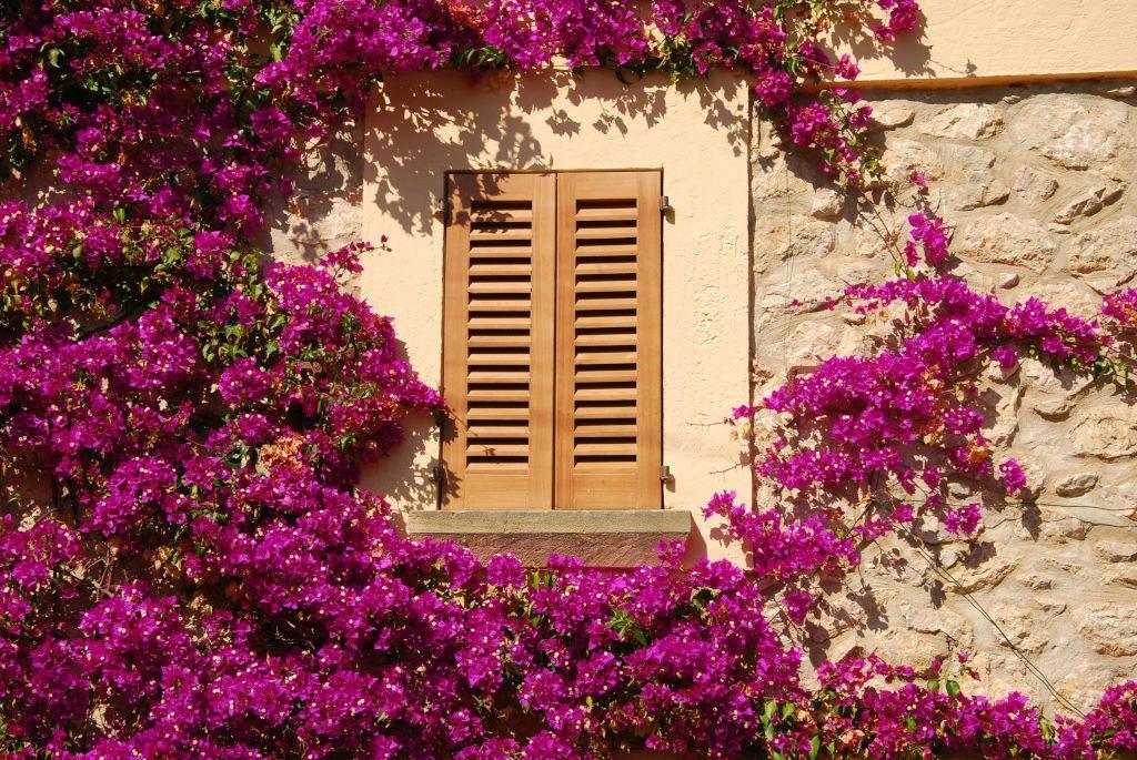 Mallorca-Blüte