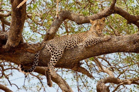 Leopard in Tansania