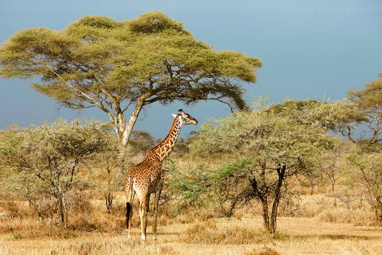 Serengeti-Giraffe in Tansania